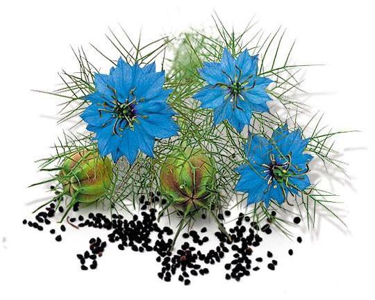 Растение Черный Тмин